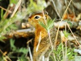 Artic ground squirrel (U­rocitellus parryii) Se v­en por doquier a lo larg­o de la Alaska Highway.­