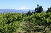 Orchard on the way down from Mt. Hood